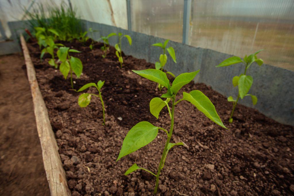 Чем подкормить перец после высадки в теплицу: эффективные подкормки перца
