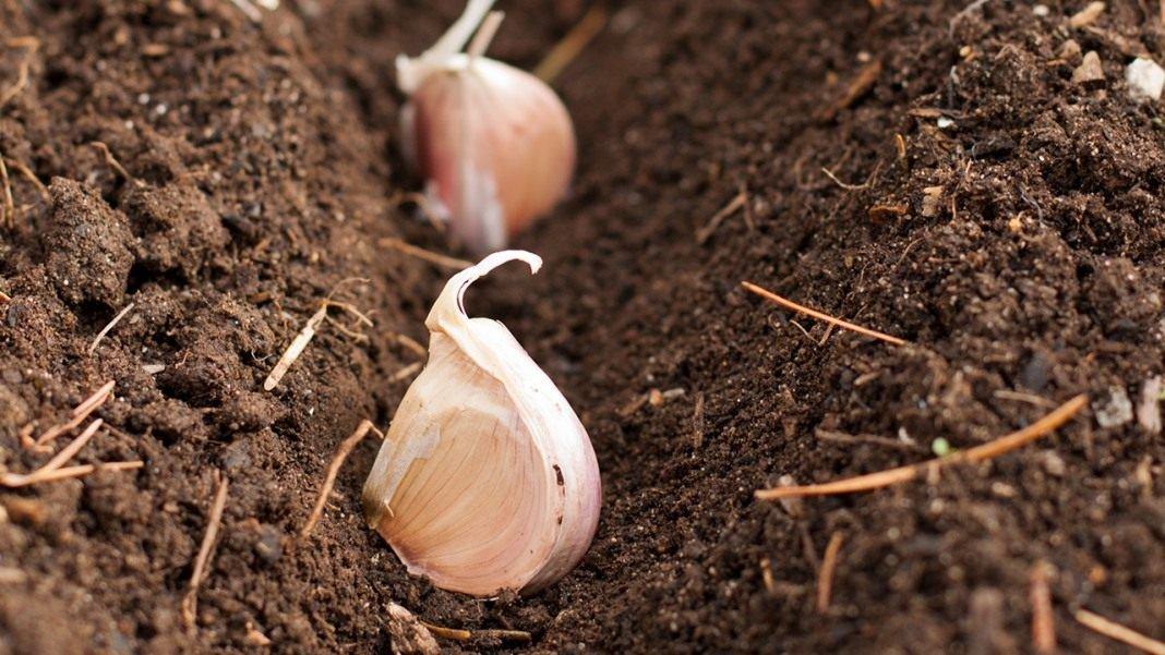 Выращивание чеснока рокамболь: что это, посадка и уход, фото