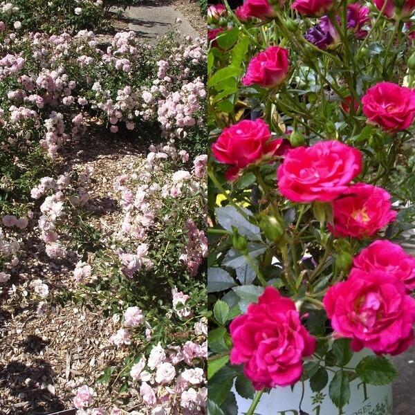 Почвопокровные розы — классификация, особенности посадки и выращивания