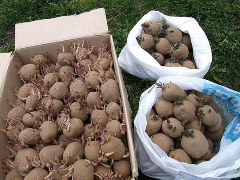 Проращивание картошки перед посадкой, для чего это надо?
