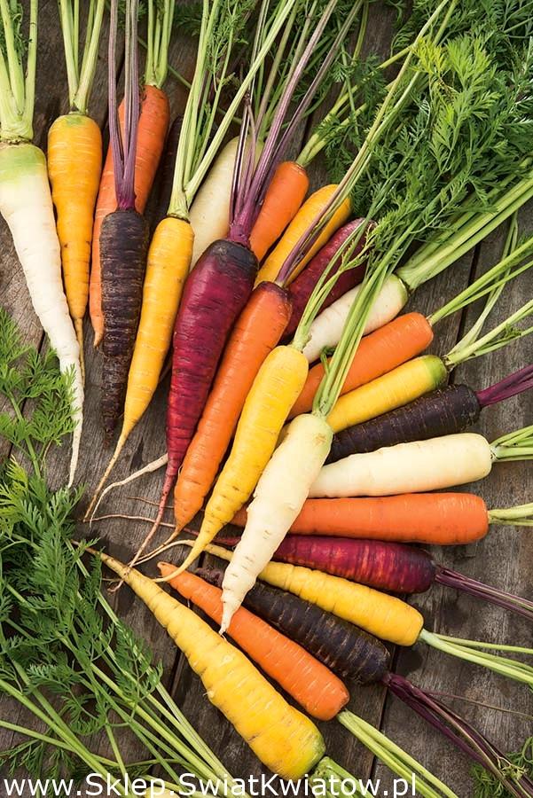Удивительное разнообразие моркови: фиолетовая, желтая, белая