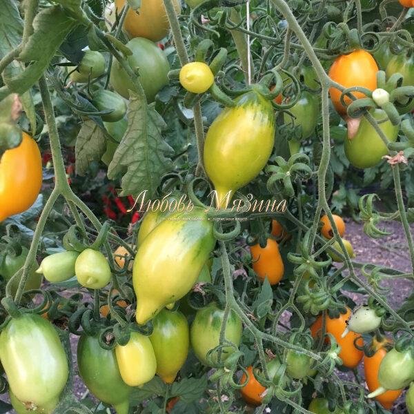 Обзор томата канары: фото, особенности и отзывы