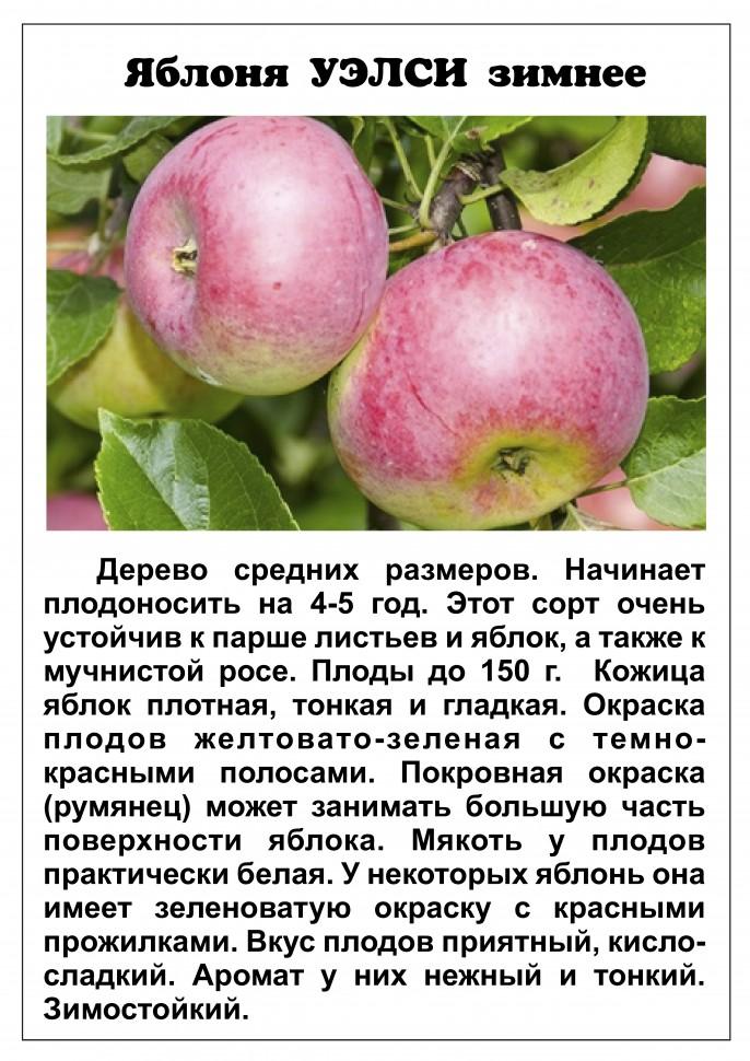 """Яблоня """"чемпион"""": описание сорта и агротехника выращивания"""