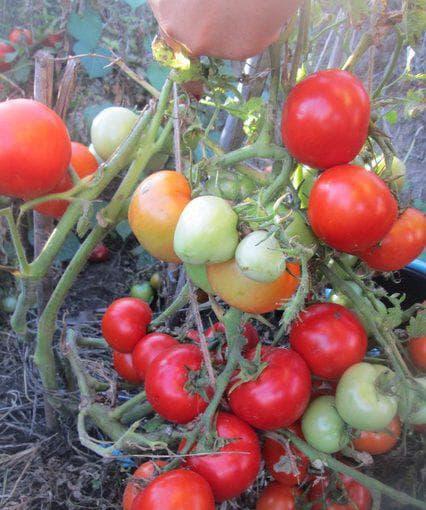 Томат петр 1: отзывы, фото, урожайность, описание и характеристика   tomatland.ru
