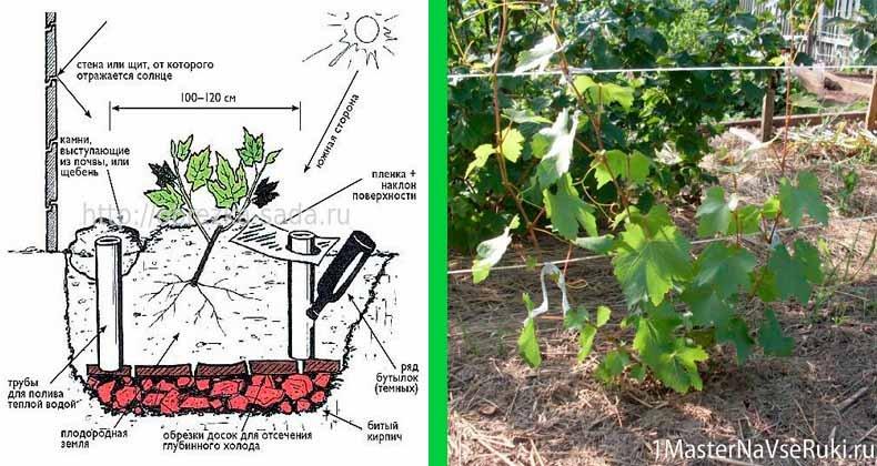 Выращивание винограда в сибири, особенности посадки и ухода для данного региона, в том числе для начинающих