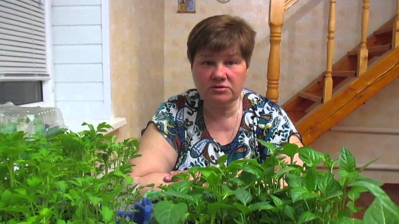 Рассада в улитках - тонкости выращивания (видео)