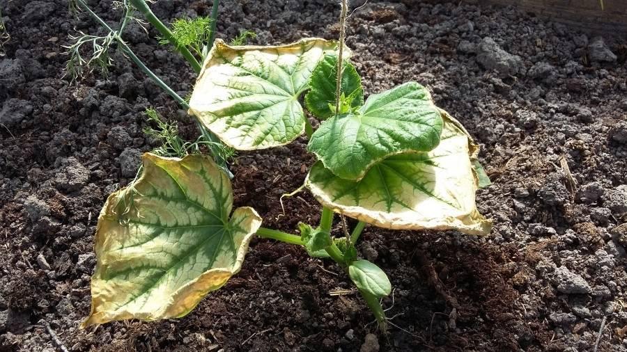 Почему вянут листья у огурцов: причины, как лечить и чем обработать