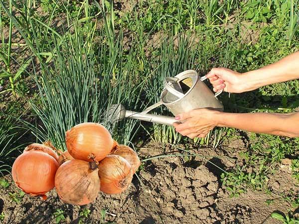 Можно ли и как часто поливать чеснок в мае, июне, июле: правильный полив чеснока озимого и ярового