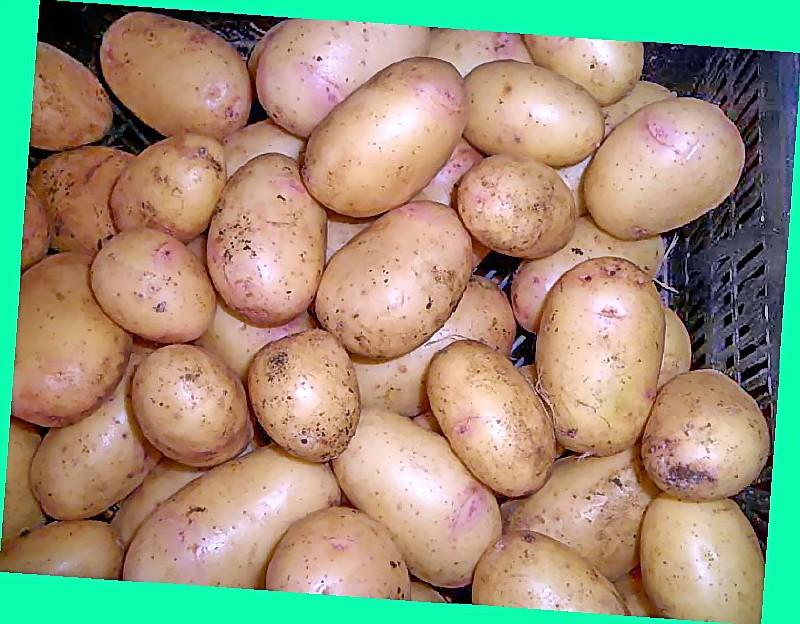 Картофель импала: описание и характеристики сорта, фото, хранение
