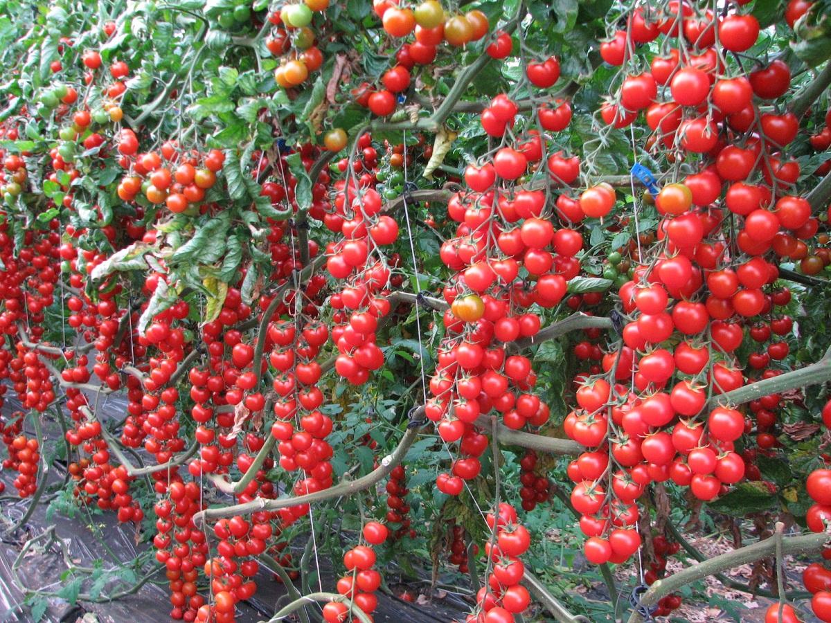 Помидоры черри: низкорослые и высокорослые сорта для открытого грунта и теплицы, фото и описанием и отзывы, красная вишня