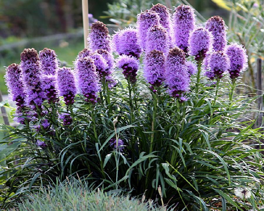 Многолетние цветы для сибири: обзор низкорослых и высокорослых многолетников