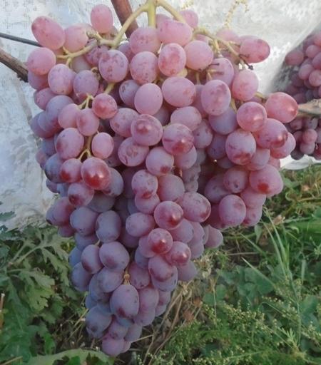 Виноград аттика: описание сорта с характеристикой и отзывами, особенности посадки и выращивания, фото
