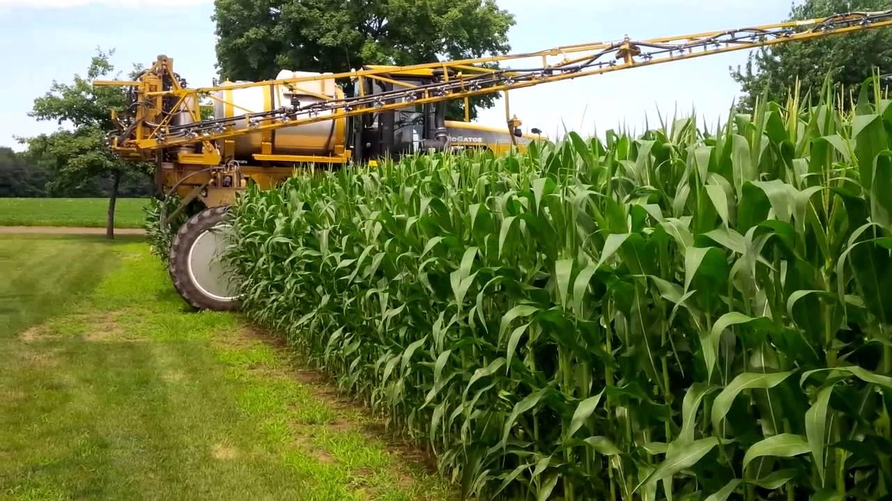 Кукуруза на силос: сорта, технология выращивания, урожайность, уборка