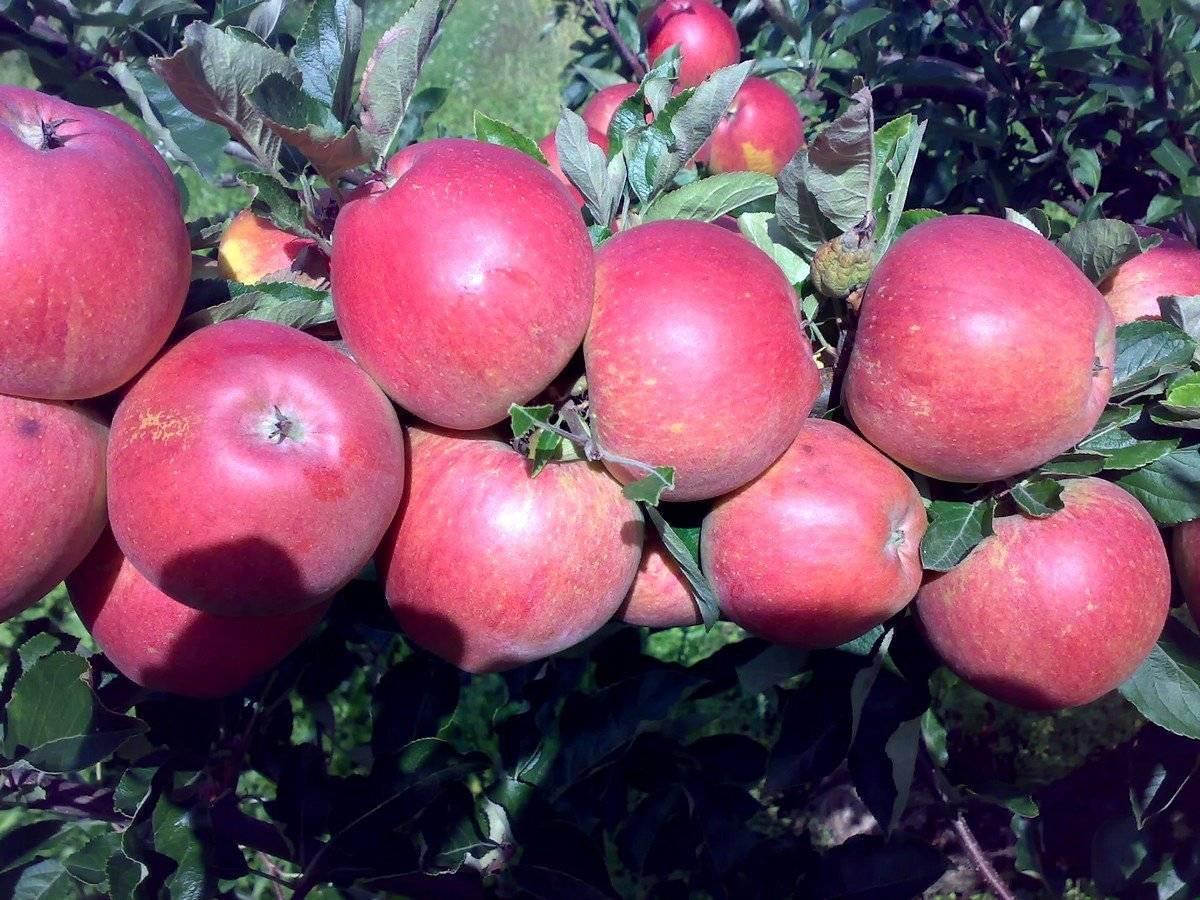 Яблоня гала: описание и характеристика, особенности выращивания осеннего сорта