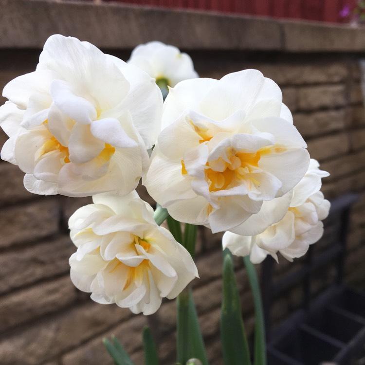 Нарцисс вальц: описание сорта, посадка и уход, размножение, отзывы с фото
