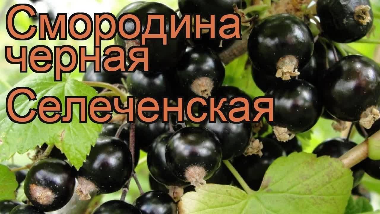 Смородина селеченская: 125 фото, видео описание выращивания и ухода за черной смородины