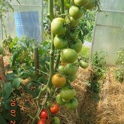 Томат марьина роща f1 — описание сорта, особенности выращивания