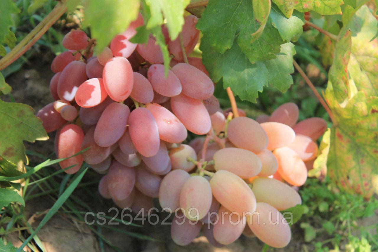 Виноград преображение: описание сорта, отзывы, фото