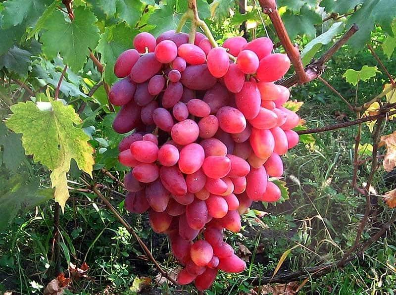 Виноград юбилей новочеркасска - описание сорта, посадка и уход, фото, отзывы