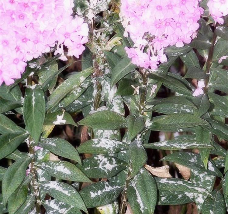 Уход за флоксами в открытом грунте: условия выращивания