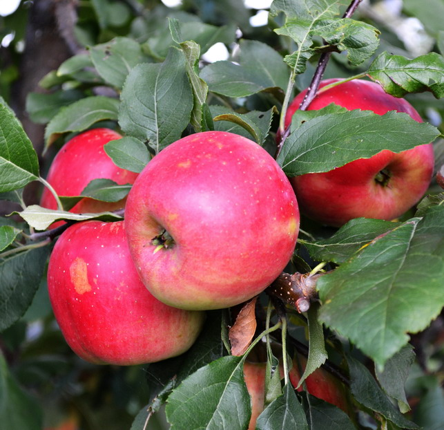 Яблоня благая весть: отзывы уральских садоводов и описание сорта с фото