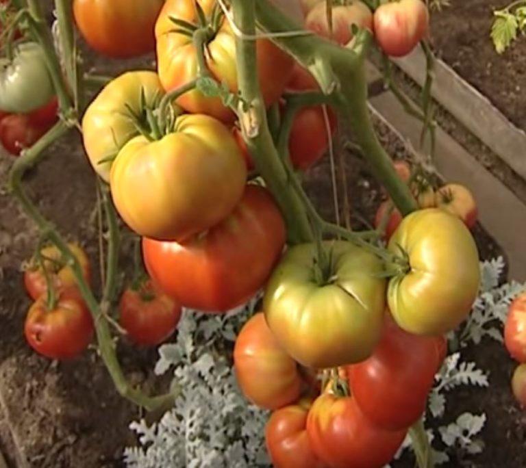 Томат бабушкин подарок: характеристика и описание сорта, урожайность с фото