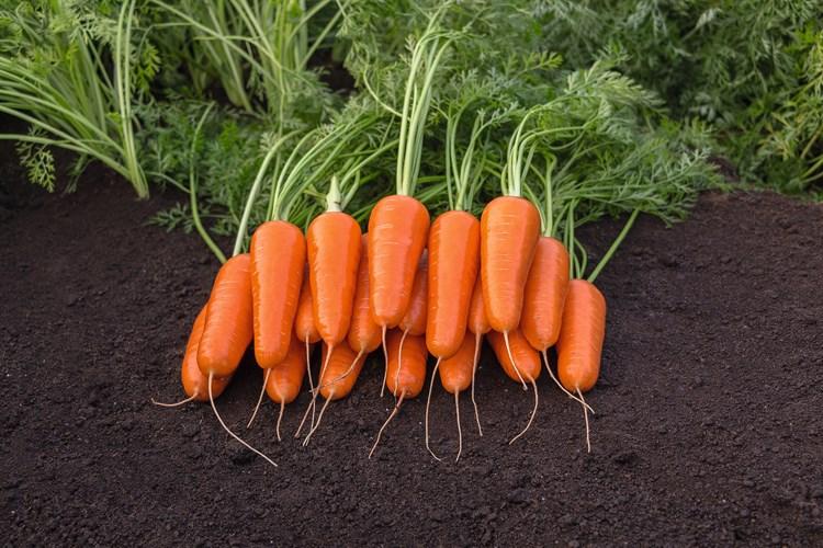 Морковь абако f1: отзывы, описание сорта
