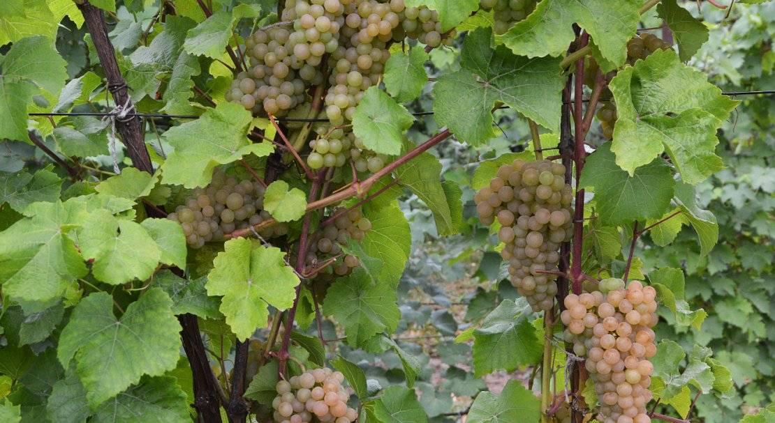 Виноград платовский:характеристика сорта, посадка и уход