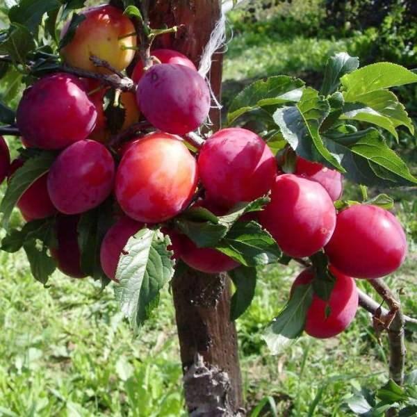 Алыча: описание, посадка и уход, полезные свойства, заготовка на зиму | садоводство и огородничество