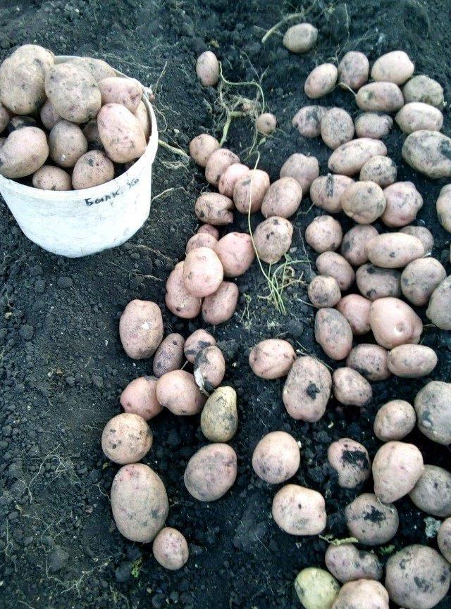 Сорт картофеля голубизна: характеристика и рекомендации по выращиванию