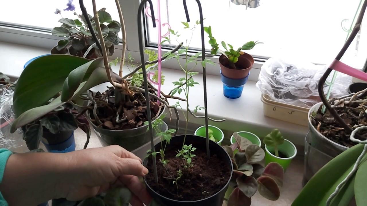 Посадка и уход за клематисами в открытом грунте для новичков: как сажать весной, осенью и летом? как выбрать место? на каком расстоянии друг от друга сажать семена?