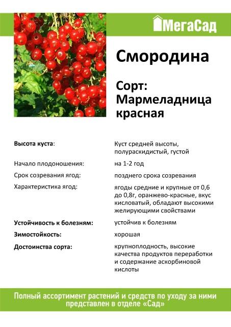 Мармеладница – описание и особенности сорта красной смородины