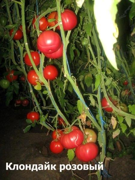 Описание и характеристики сорта томата клондайк - всё про сады