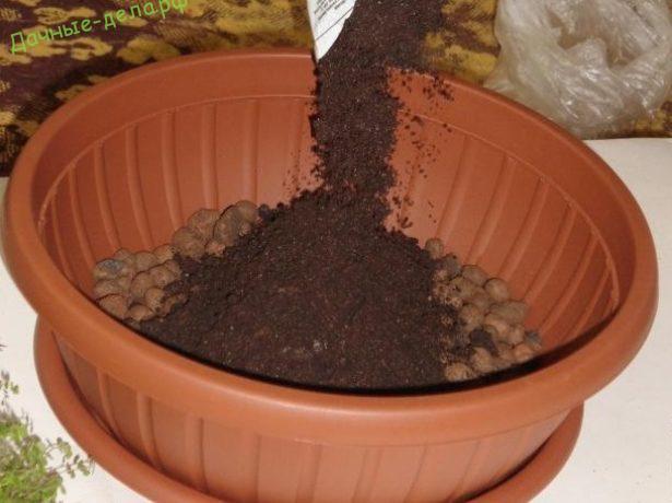 Солейролия — зелёный шар. уход в домашних условиях. выращивание, размножение. фото — ботаничка.ru
