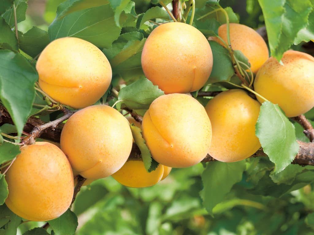 Лучшие сорта абрикоса для подмосковья
