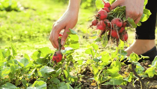 Когда сажать редиску в теплице весной, в том числе неотапливаемой: при какой температуре и можно сеять на урале, подмосковье, и сибири, сроки по лунному календарю русский фермер