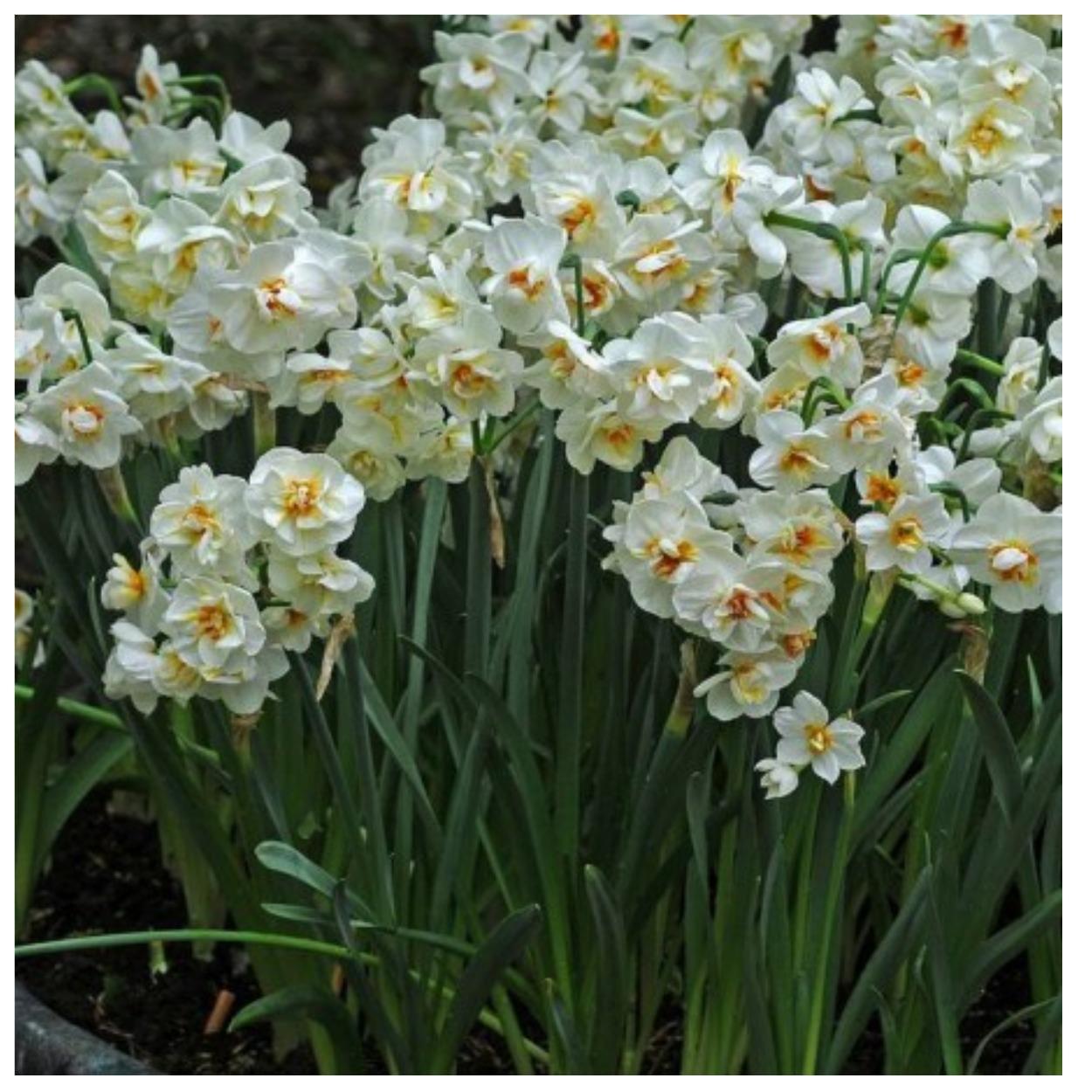 Нарцисс бридал краун: описание и характеристики сорта, посадка и уход, отзывы с фото