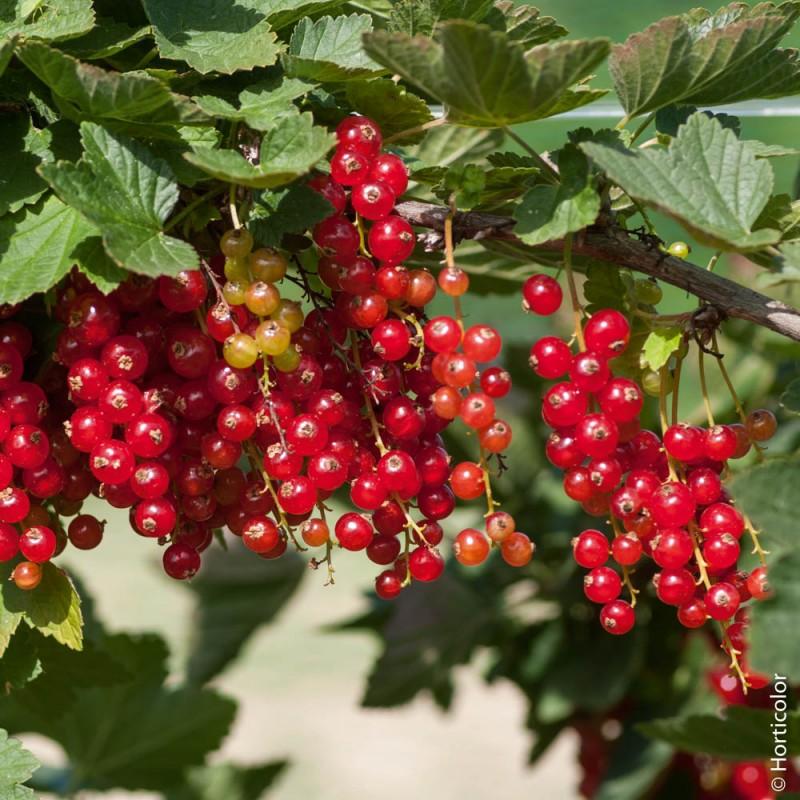 ✅ смородина ровада: описание и характеристики сорта, уход и выращивание - tehnomir32.ru