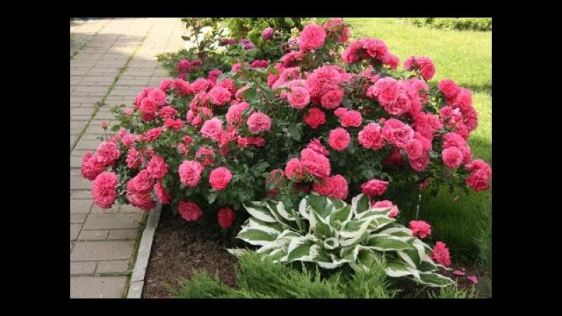 Описание и характеристика розы сорта Розариум Ютерсен, ее посадка и уход