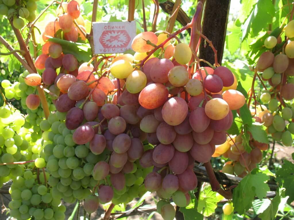 Описание сорта винограда румба: фото и отзывы   vinograd-loza