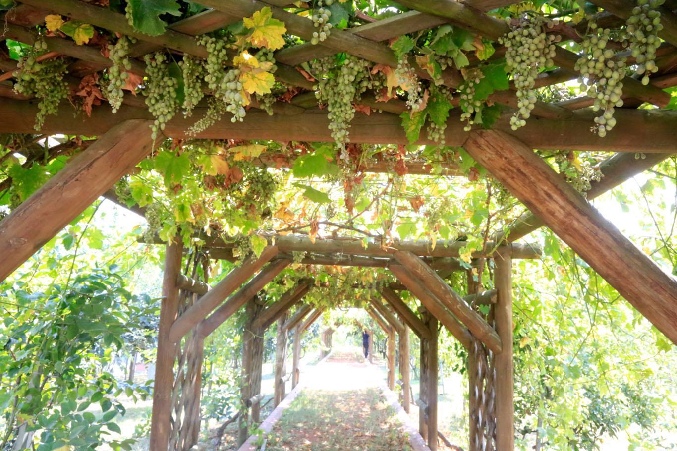 Шпалера для винограда: 90 фото, чертежей и схем постройки различных конструкций