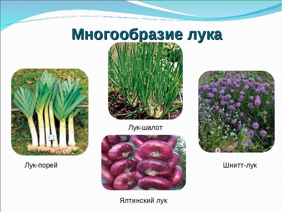 Сорта и виды лука с названиями и описанием