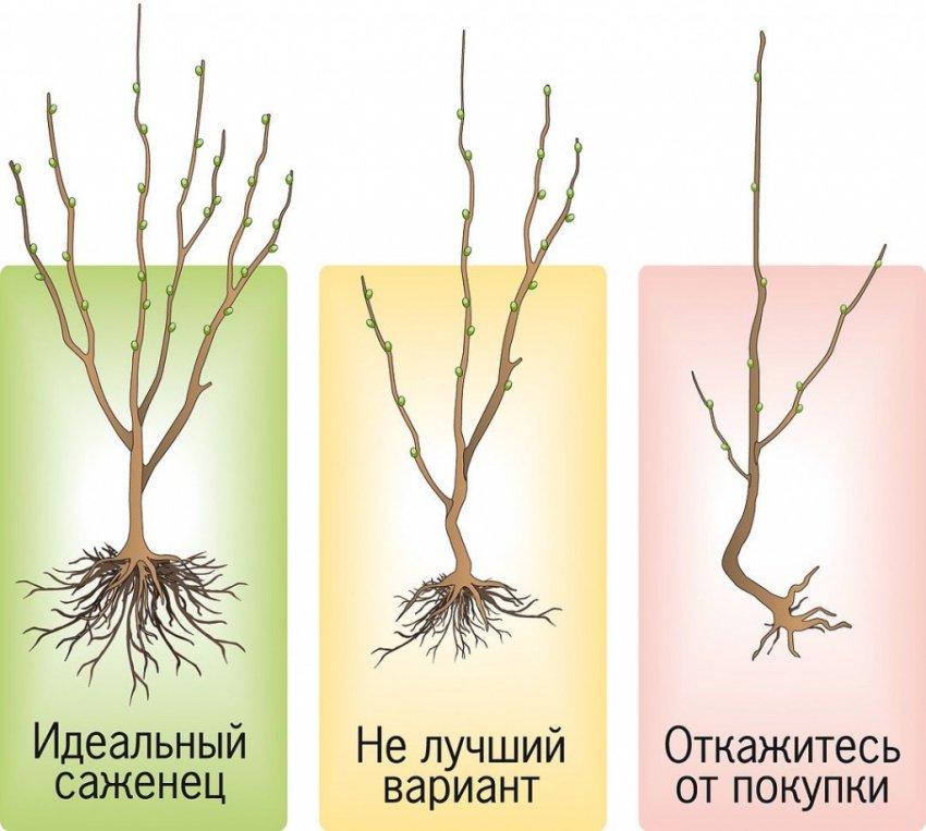 Правила посадки груши весной и осенью: пошаговое руководство, сроки