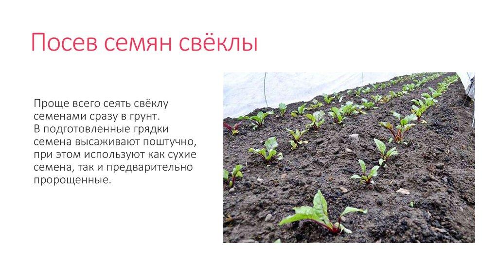 Посадка моркови осенью под зиму: сроки в 2021 году, подходящие сорта |