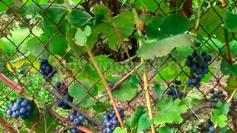 Виноград зилга: описание сорта с характеристикой и отзывами, особенности посадки и выращивания, фото