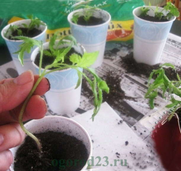 Что такое пикировка томатов: когда и как её делать, пикирование рассады помидор в домашних условиях с фото и видео