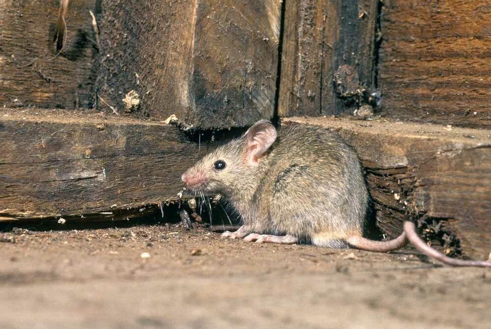 Грызуны на пасеке. как защитить улья от мышей и крыс