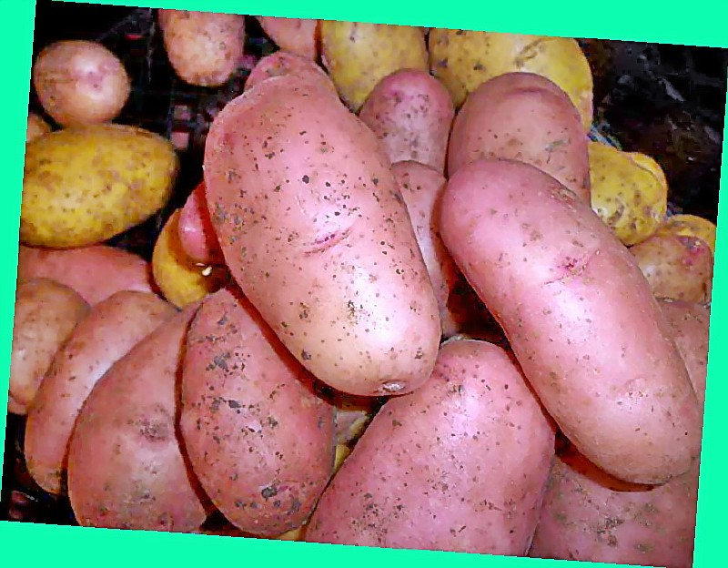 Описание и характеристика картофеля сорта Зекура, правила посадки и ухода
