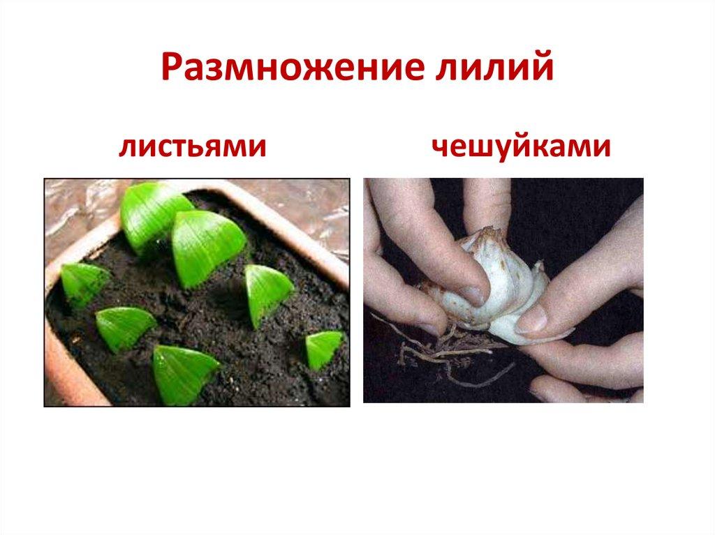 Размножение лилий: чешуйками, луковицами, детками, бульбочками, сроки, правила, подходящие сорта, возможные ошибки