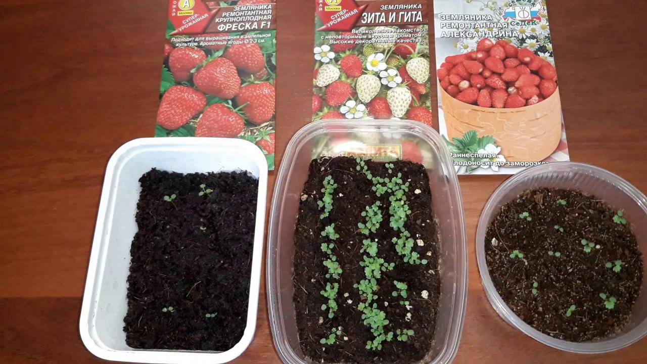 Размножение клубники семенами в домашних условиях